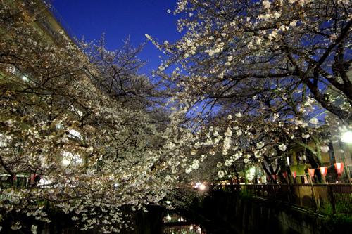 目黒川の桜2